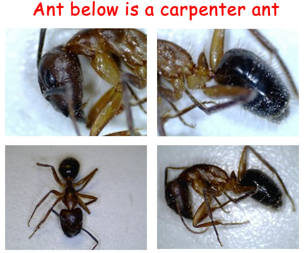 Drywood Termites Difference Between Termite And Carpenter Ant